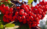 Рябина красная: рецепты приготовления на зиму